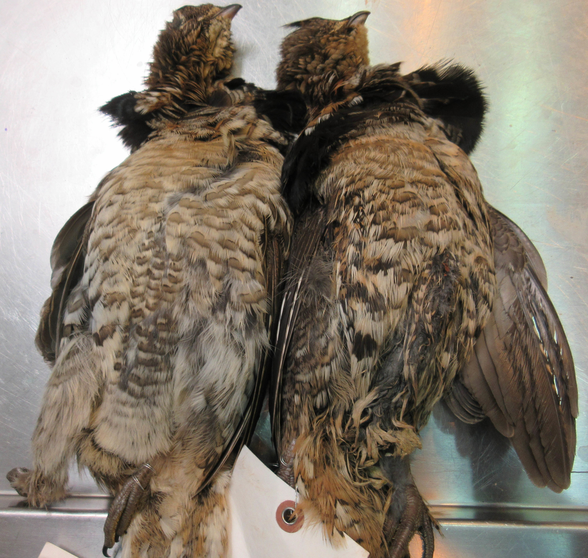 Two grouse submitted to the Michigan Department of Natural Resources' Wildlife Disease Lab in Lansing for testing for West Nile Virus.