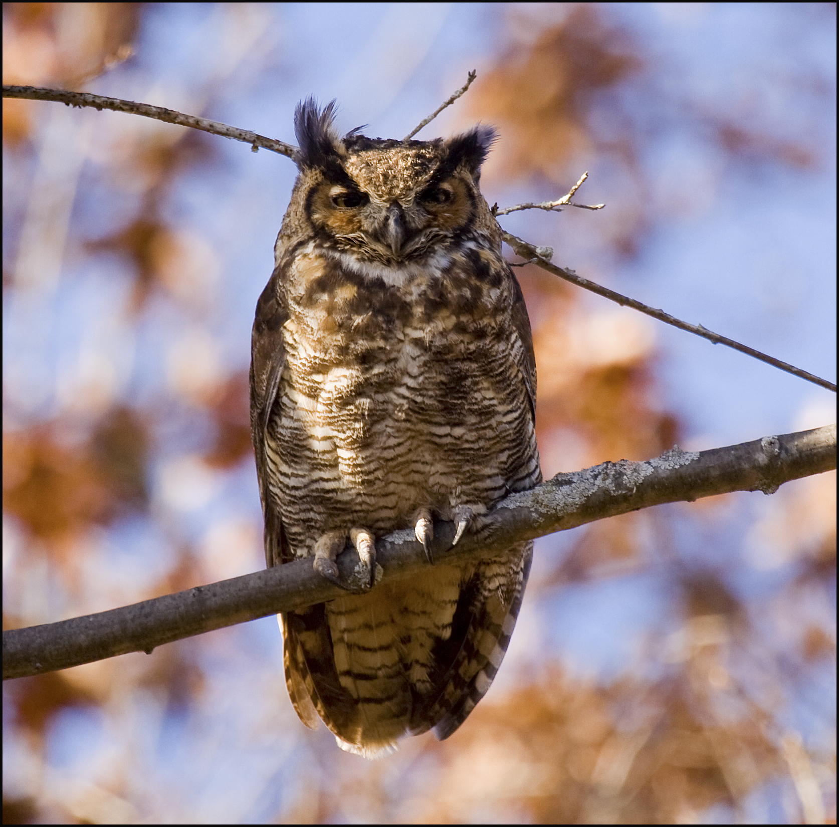 Great-horned owls are found in many Christmas Bird Count circles in Michigan. (Photo courtesy of Joe Brooks)
