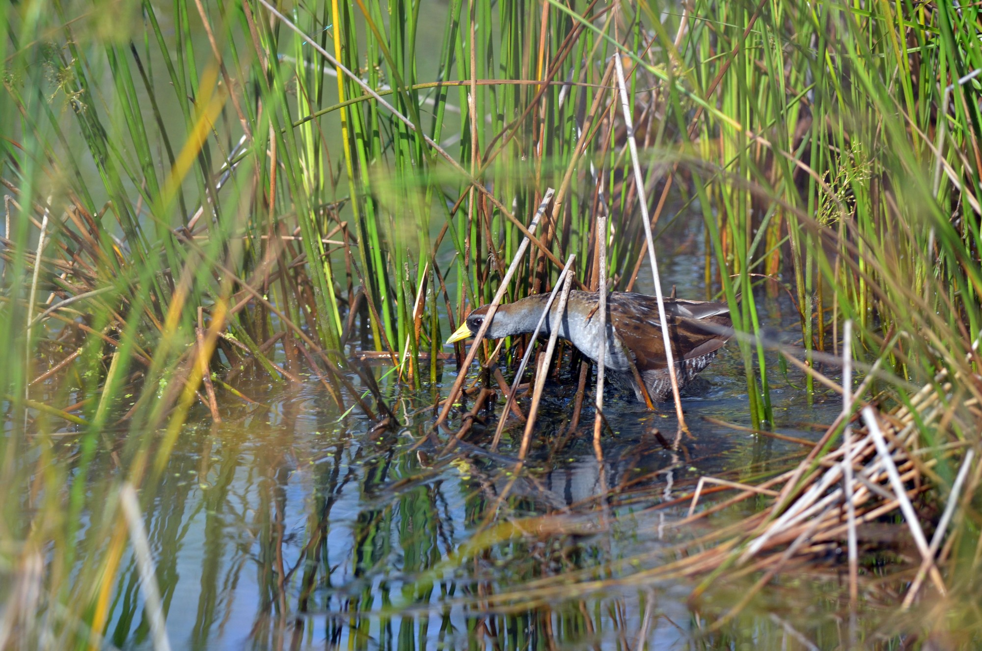 Home to a wide variety of birds, including the secretive sora, Michigan's wetlands make great wildlife viewing destinations.