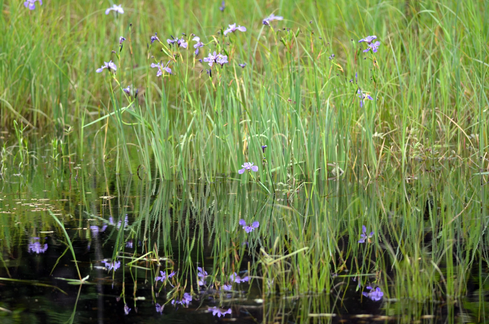 Wild irises are one of many Michigan wetland plant species.