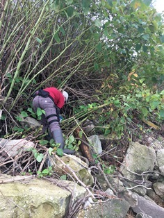 Person reaching into big expanse of Japanese knotweed