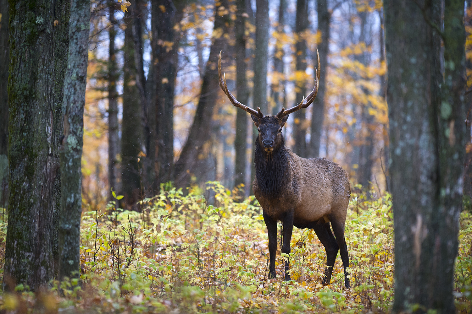 Michigan is celebrating its centennial year of elk.