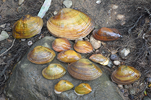 a collection of freshwater mussels on river bank