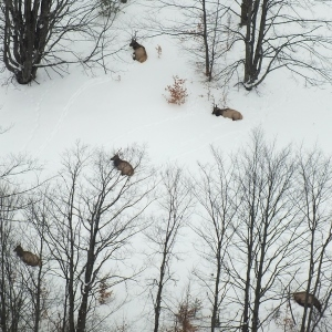 group of elk in snowy forest, seen from plane above