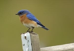 Eastern bluebird on a fence post