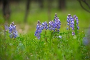 Purple wildflowers in green grass