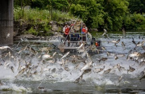 silver carp jumping out of river with men in boat trying to catch them