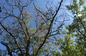 Tree with oak wilt