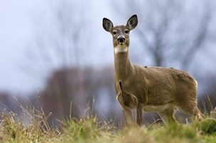 A healthy white-tailed deer