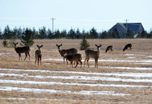 A group of deer stands in a March field in Mackinac County.