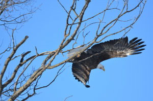 A bald eagle flies from a perch in the western Upper Peninsula.