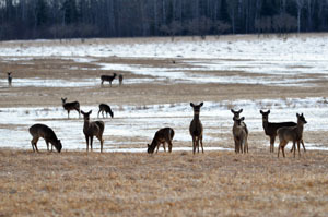 Deer gathered in a field in Mackinac County in March.