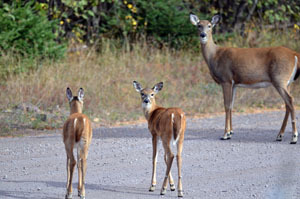 Deer ready for fall and winter in October in Houghton County.