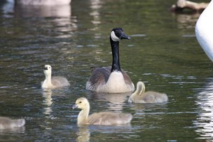 Canada goose with young goslings on the water.