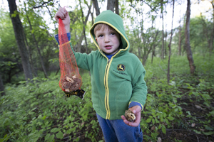 A young boy bags a bunch of Michigan morel mushrooms.
