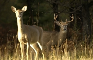 Michigan's white-tailed deer population is an important part of the state's traditions and natural landscape.