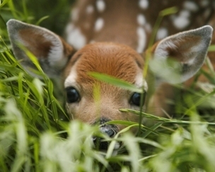 Young fawns like this often are found alone in the wild this time of year; best to leave them alone.