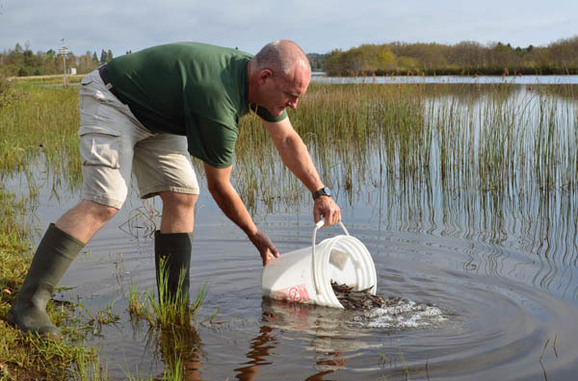 Ed Baker, Michigan Department of Natural Resources research biologist, releases lake sturgeon into the Whitefish River in Delta County.