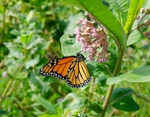 A draft strategy to reverse the decline in population of the eastern monarch butterfly is under public review.
