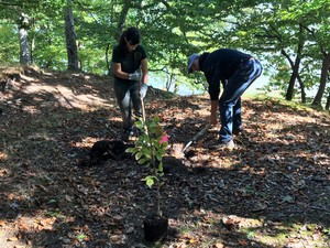 Volunteers and staffers plant disease-resistant beech trees at Ludington State Park.