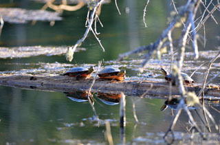 Painted turtles, like these enjoying an afternoon on a log in Marquette County, flourish in wetland areas.