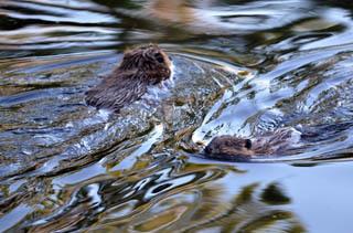 Beavers, like these playful kits, make wetland areas their home.