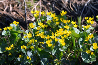As their name implies, marsh marigolds are at home in wetland areas.