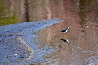 Exposed bog areas and shallow water wetland areas are place birds like this yellowlegs look for food.