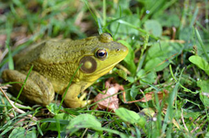 Amphibians like this green frog in Marquette County also inhabit wetland areas.