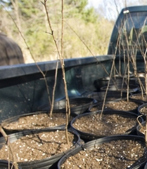 Saplings in a truck bed ready to be planted