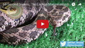 Learn more about snakes you can find here in Michigan in the DNR's 60-Second Snakes video series.