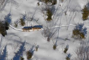 Two wolves on a winter trail from a previous DNR wolf survey in the Upper Peninsula.