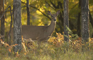 antlerless deer in forest