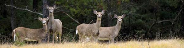 group of antlerless deer in field