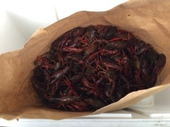 A quantity of red swamp crayfish, an invasive species intercepted by Michigan DNR law enforcement