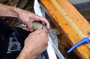 A DNR fisheries staffer takes a scale sample from a brook trout in Alger County.