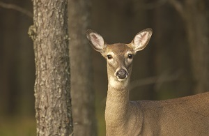 A white-tailed deer. Michigan's Natural Resources Commission approved new hunting regulations aimed at slowing the spread of chronic wasting disease.