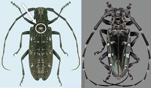 The white spotted pine sawyer, left, often is mistaken for the invasive Asian longhorned beetle.