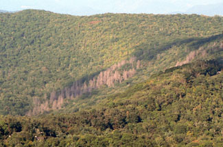 The defoliated eastern hemlock trees in the center of the photo show damage from hemlock wooly adelgids in the Great Smoky Mountains.