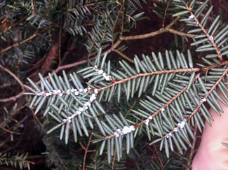 A hemlock tree branch shows ovisacs which resemble wool, helping to give the insect its name.
