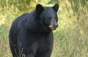 The September 2018 black bear population estimate is roughly 14,000 adults: nearly 11,000 in the Upper Peninsula and almost 3,000 in the Lower.