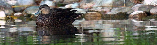 black duck swimming