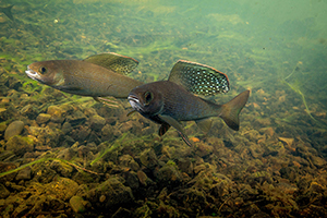 two Arctic grayling swimming