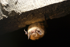 close-up photo of a bat hanging upside down