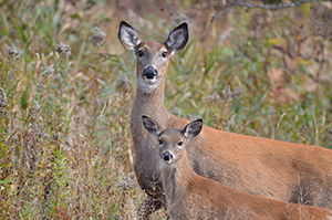 The age of deer can be determine by various means, including field observations.