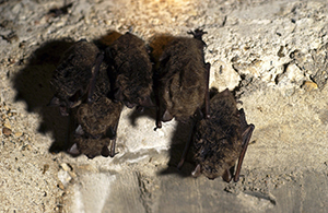 Group of bats hanging upside-down