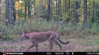 A second game camera image of a cougar in Gogebic County on Oct. 1.