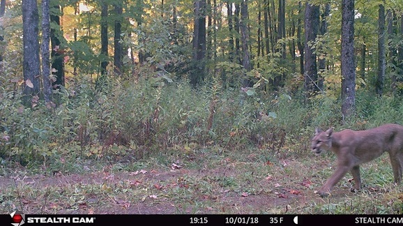 A cougar caught on a game camera Oct. 1 in Gogebic County.