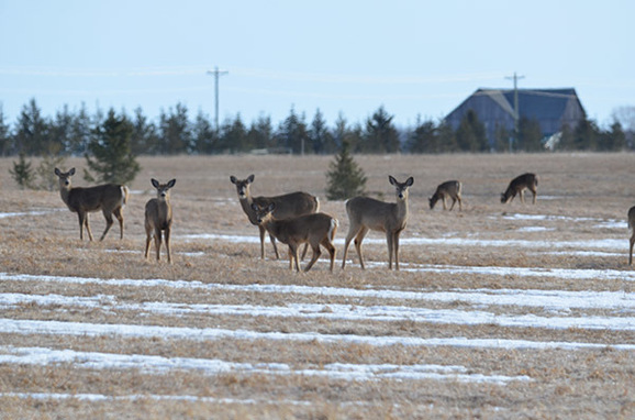 Deer in a field in Mackinac County are shown.
