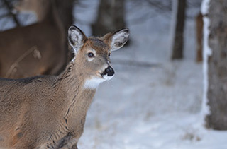 A white-tailed deer is shown in Marquette County in winter.
